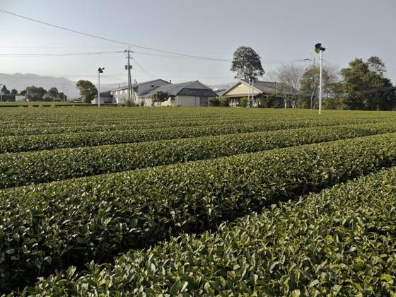 Teefeld der Morimotos